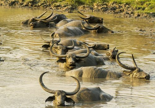 buffalo asiatic wild