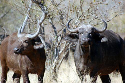 buffalo nature african