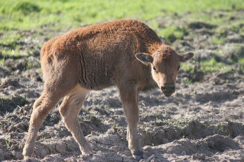 buffalo young buffalo baby buffalo