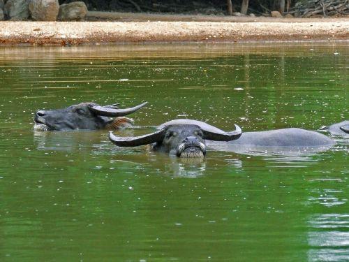 buffalo wild water