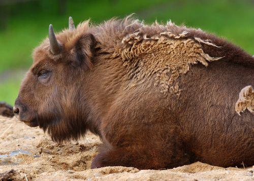 buffalo animals fauna