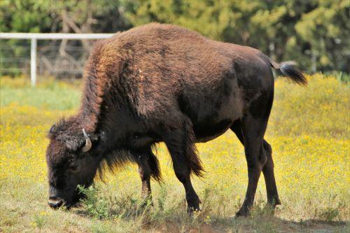 Buffalo Grazing Close-up