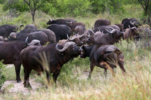 buffalos herd kruger national park