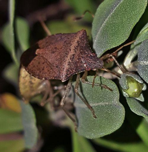 bug stink bug brown stink bug