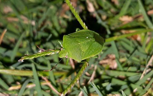 bug stink bug green stink bug