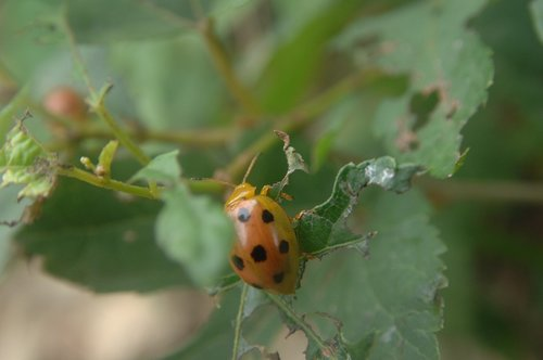 bug  ladybug  red color