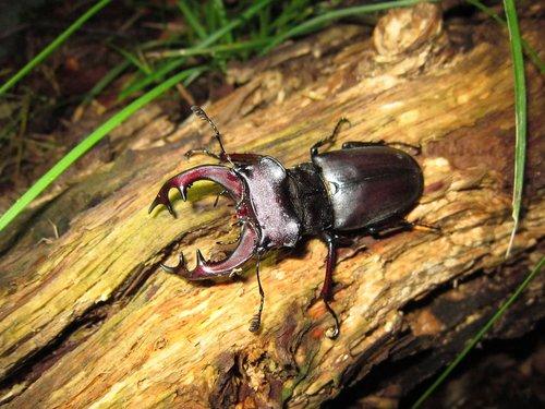 bug  insect  lucanus cervus