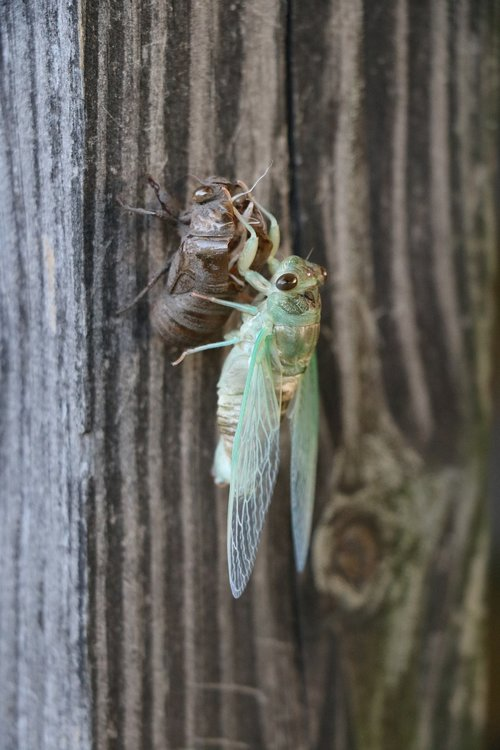 bug  cicada  life cycle