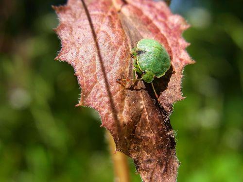 bug common stinkwanze palomena prasina