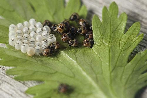 bug leaf bug insect