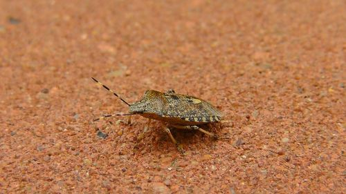 bug stink bug insect