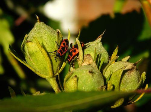 bug fire bug beetle