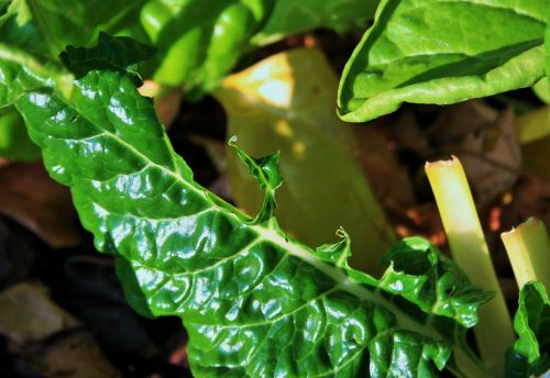 Bug Eaten Spinach