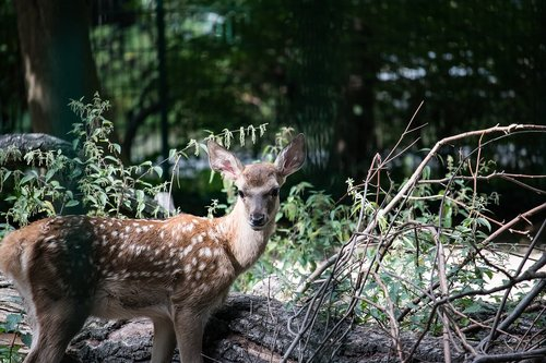 bukhara deer  hirsch  young animal