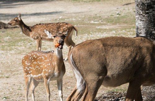 bukhara deer  hirsch  red deer