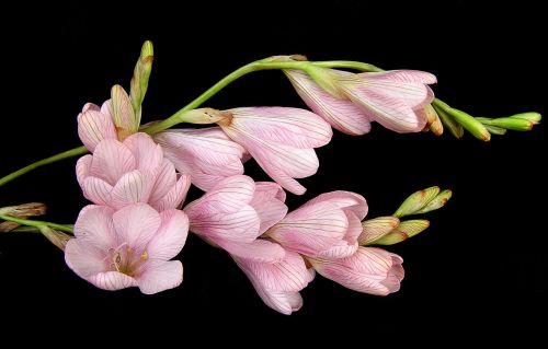 bulb flower pink