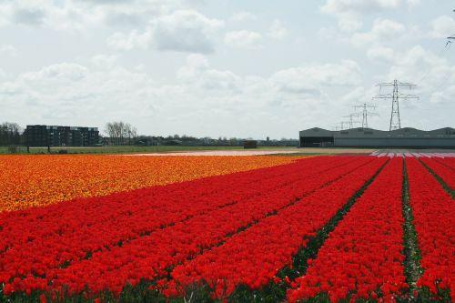 Nyderlandų lemputė,lemputė,tulpės