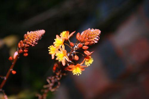 Bulbinella Buds