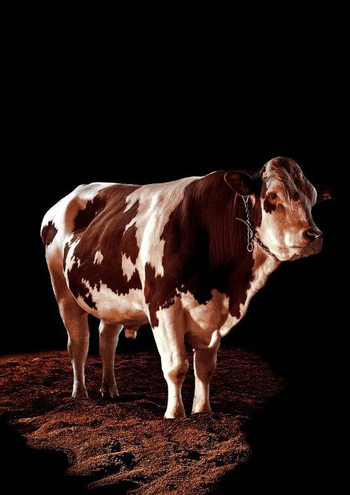 bull beef spotlight