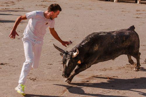bull bull races cowhide