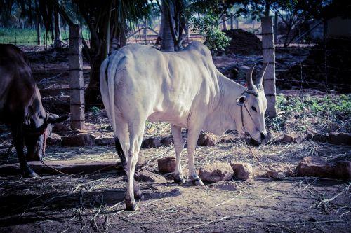 bull kangeyam tamilnadu bull