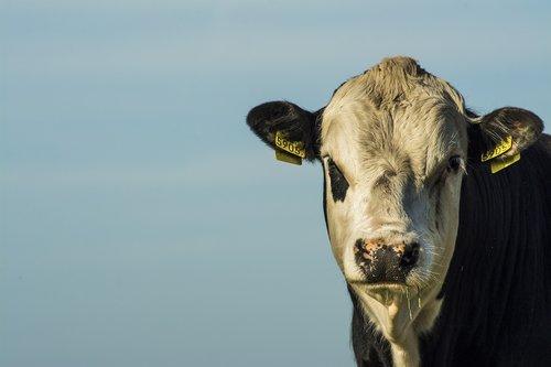 bull  closeup  farm