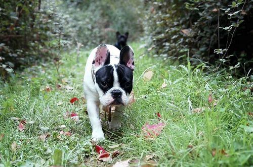 bulldog french bulldog puppy