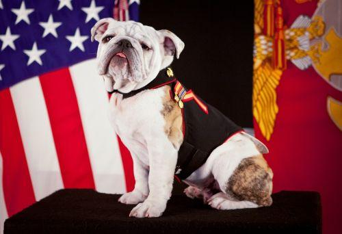 bulldog official mascot marine corps