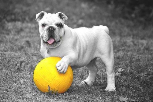 bulldog dog animal