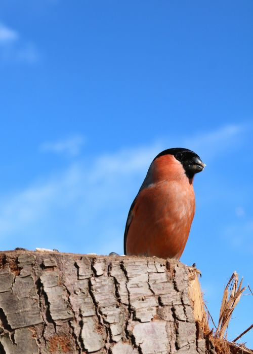 bullfinch male perched