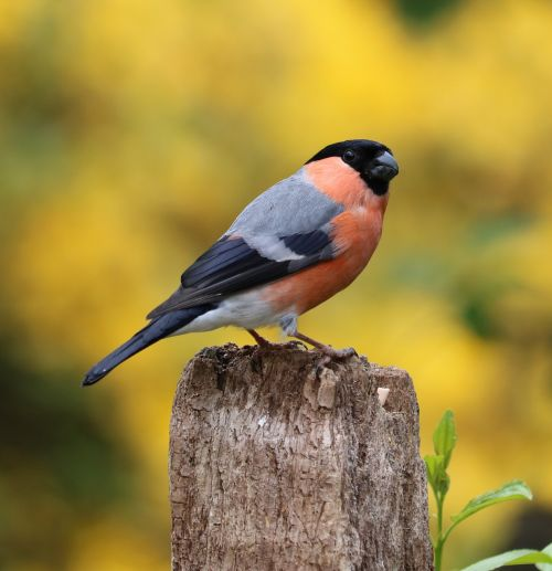 bullfinch song bird bird