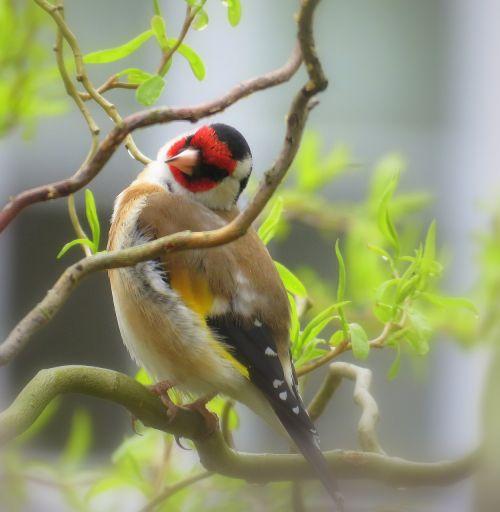 bullfinch english bird redhead