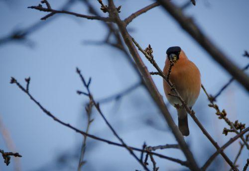 bullfinch spring small birds