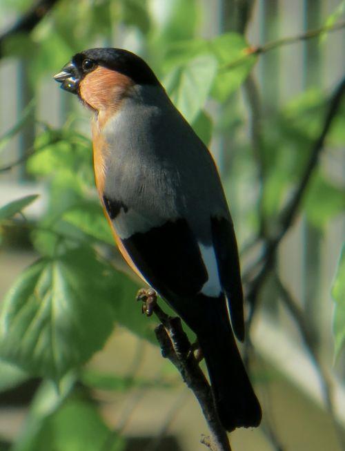 bullfinch bird animal