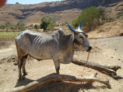 bullock animal cattle