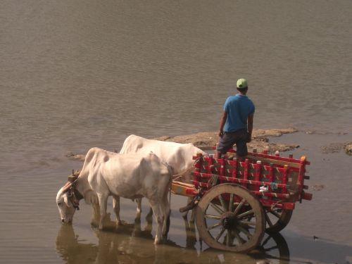 bullock cart bulls bullock