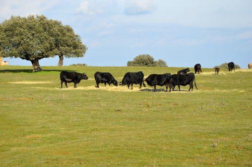 bulls salamanca animal husbandry