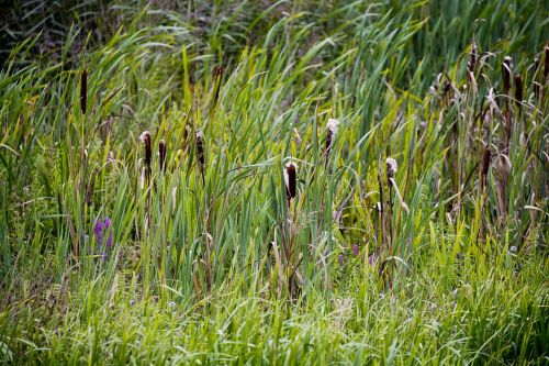 bulrushes reed wild grasses