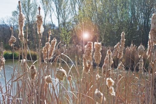 Bulrushes With Lens Flare