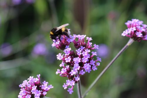bumble bee bee verbena