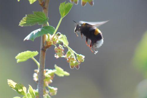 bumblebee krupnyj plan in-flight