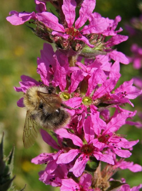 bumblebee flower pink