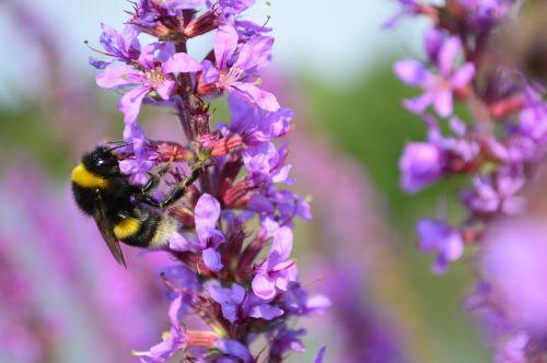 bumblebee bumble bee bumble