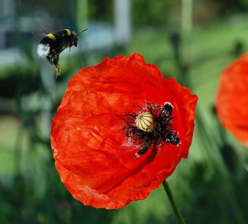 bumblebee poppies flight