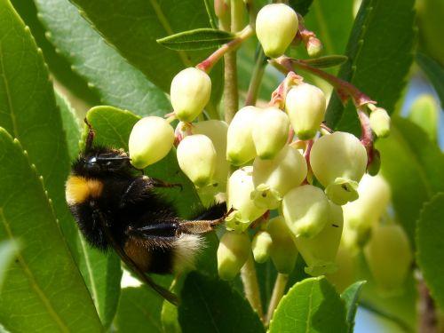 bumblebee drone strawberry tree