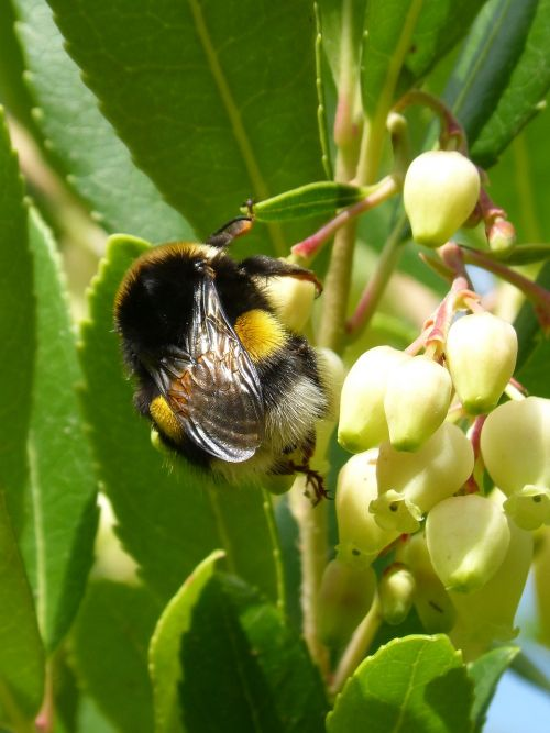 bumblebee arbutus flower libar