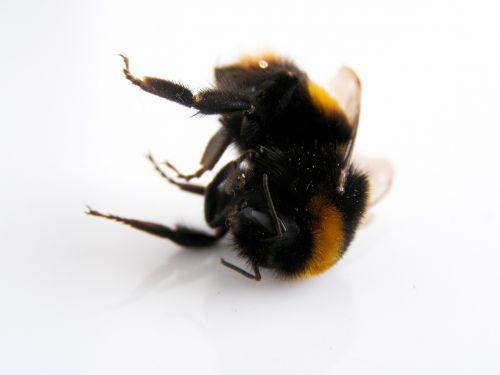 bumblebee bee nature