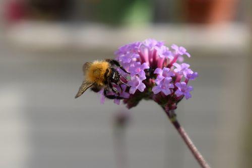 bumblebee verbena purple