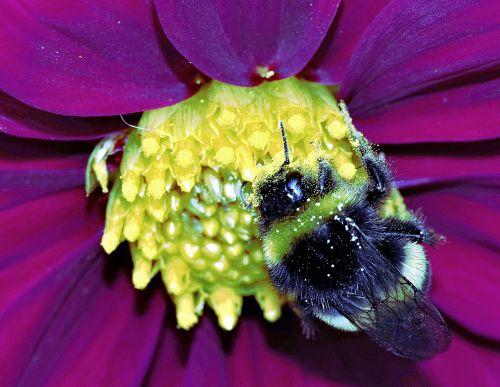 kamanė,vabzdys,išplistų,medus,gėlė,geltona,žiedadulkės,makro,Iš arti,rožinis,raudona,gamta,ryškumas,apdulkinimas,darbas,žydėjimas,spalvinga