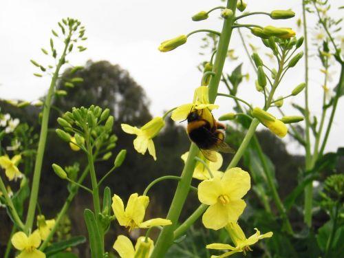 bumblebee flower cabbage galician